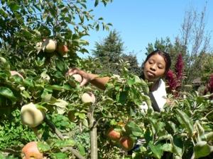 Volunteer picking Asian Pears