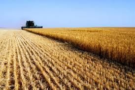 rows of wheat and combine
