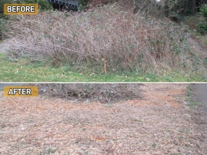 Before and after bramble cleanup (photo from Feet First)