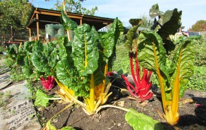 The many colors of Swiss chard